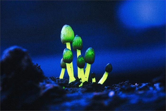 Quá trình phát quang sinh học của các loài nấm là do một loại emzim tiết ra từ mũ nấm có tên là Luciferases, những loài động vật có khả năng phát quang như sứa hay mực biển cũng có loại enzim này.