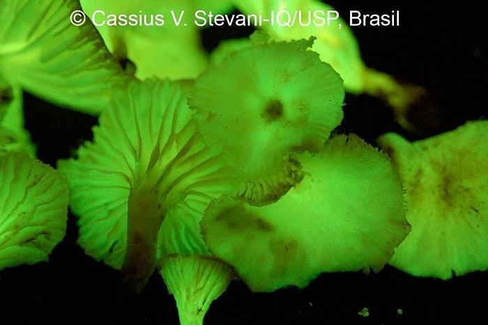 Cho đến tận năm 2009, Desjardin, giáo sư sinh thái và tiến hóa của Mỹ cùng tiến sĩ Cassius Stevani đã quyết định đi kiếm tìm loài có thể phát thứ ánh sáng màu xanh lá cây kỳ lạ đó.