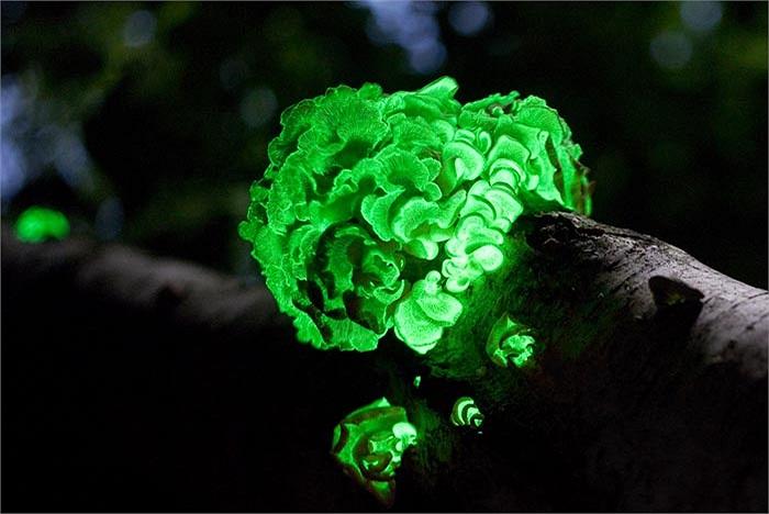 Nấm Panellus là loại sinh vật sống kí sinh trên thângỗ, điều đặc biệt nhất của chúng là có thể phát sáng cả ngày, chỉ cần có đủ khí oxi và nước.
