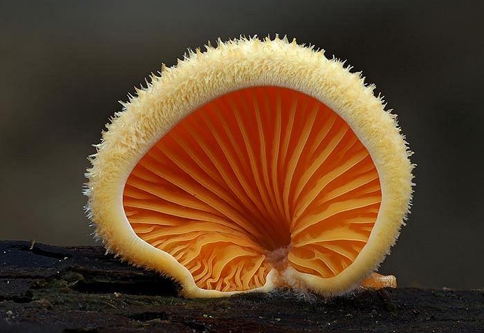 Một chiếc mũ nấm đèn lồng màu da cam tựa như đuôi của loài cáo.