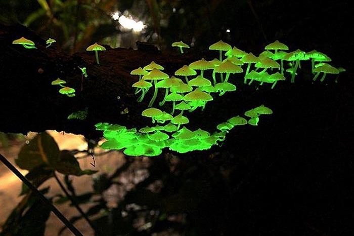 Loài nấm Panellus nhỏ nhắn nhưng có khả năng phát sáng kỳ lạ.