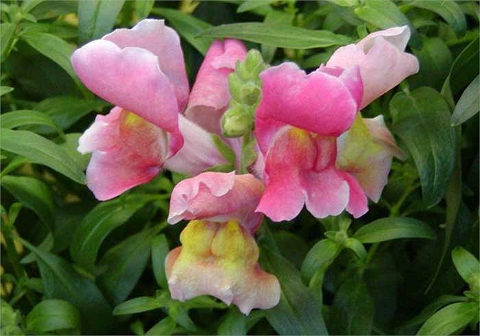 Cây Kim ngư thảo (Antirrhinum) hay còn được gọi là cây Mõm chó, thường được tìm thấy tại những ngọn núi đá ở châu Âu, Mỹ và Bắc Phi, hoa của chúng khá đẹp.