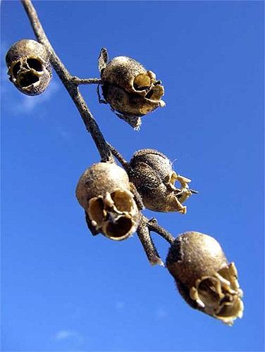 Thế nhưng khi những bông hoa chết đi, chúng để lại phần vỏ cuống rất kỳ quái, trông giống như những chiếc sọ người chết tí hon.