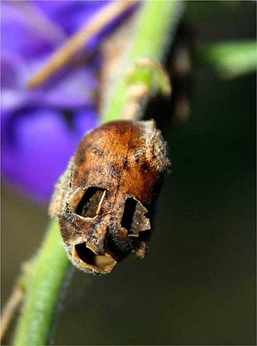 Ngoài ra chúng cũng được nhiều nhà sưu tập trồng làm cây cảnh nhờ hình dạng quái dị của mình.