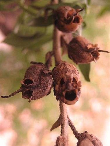 Không có gì ngạc nhiên khi loài cây này được nhắc đến trong nhiều nền văn hóa dân gian như là loài cây có ma thuật đáng sợ.