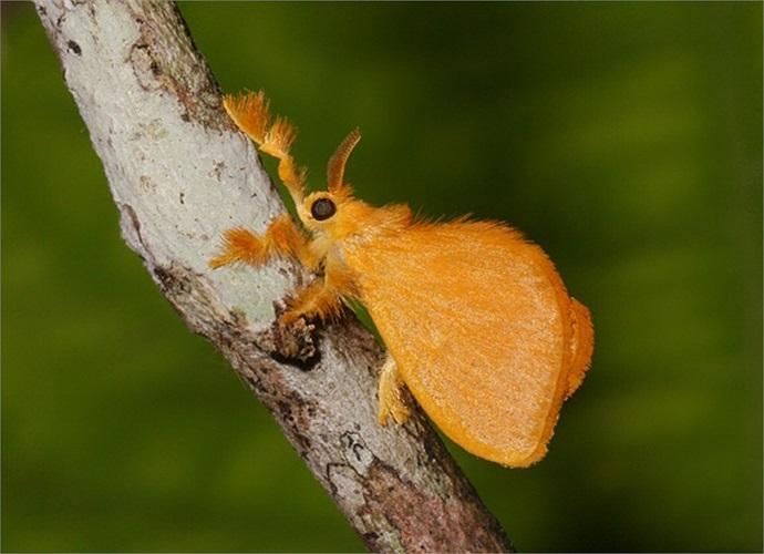 Sau khi lột xác, sâu ngọc trở thành một chú bướm đêm màu vàng cam đầy lông lá.