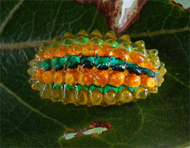 Những thông tin về chúng còn đang được nghiên cứu trong phòng thí nghiệm và người ta chỉ biết rằng Jewel Caterpillar là viên ngọc quý trong thế giới côn trùng.