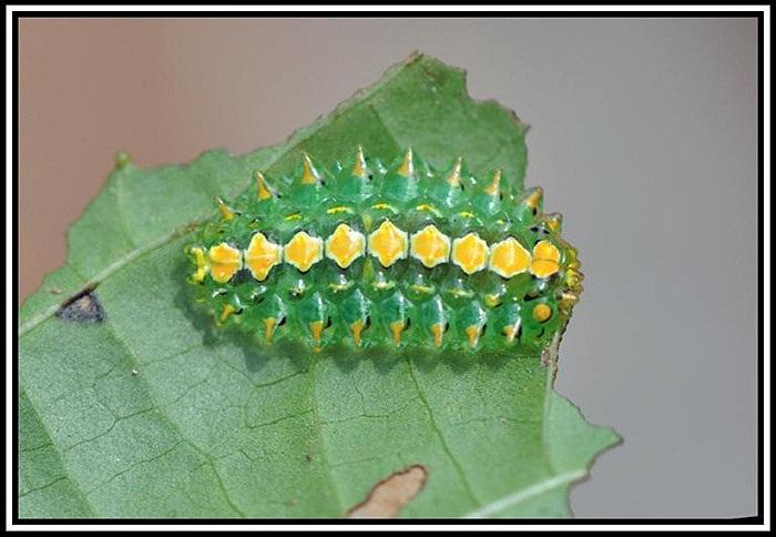 Khác biệt là hải sâm hay các ấu trùng khác luôn mang nhiều màu sắc sống động để tự vệ, cảnh báo kẻ thù thì sâu ngọc lại hạn chế tối đa điều này