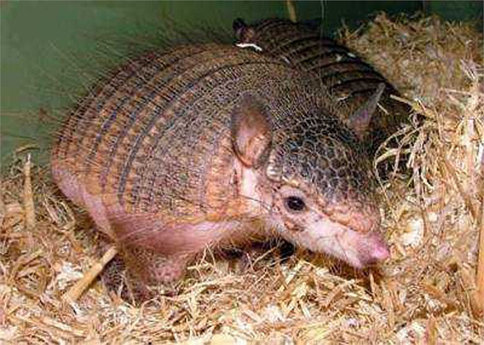 Thịt chuột Tatu là món ăn được các bộ lạc, bộ tộc ở vùng Trung và Nam Mỹ ưa thích.