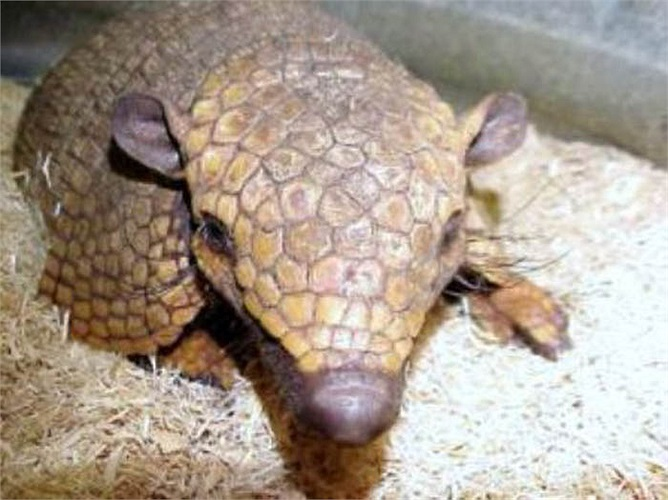 Các loài động vật có vú khác thì tìm cách chạy trốn kẻ thù, riêng chuột Tatu thì không cần chạy trốn khi kẻ thù đến gần.