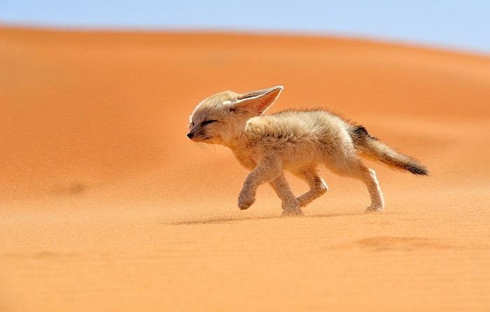 Chú cáo sa mạc nhỏ đang chạy ngược cơn gió trên sa mạc ở Maroc