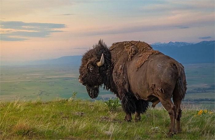 Bò rừng ở Moiese, Montana, Mỹ