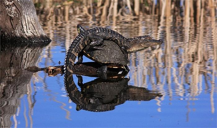 Cá sấu cưỡi rùa phơi nắng trong ao nước