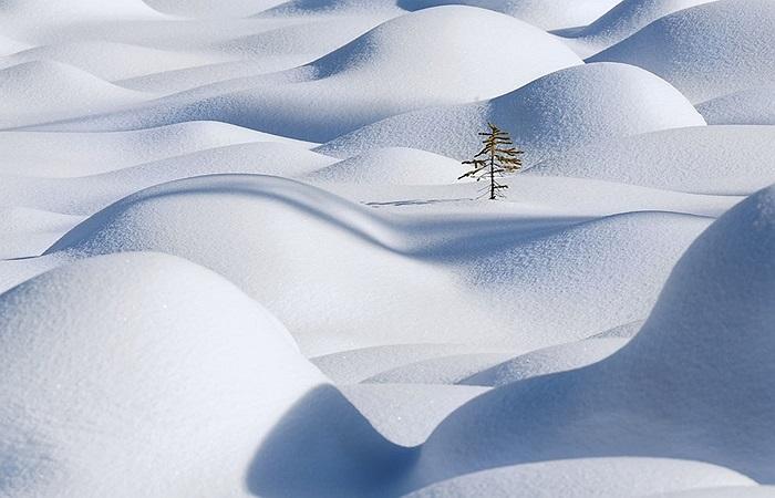 Cây lẻ loi giữa rừng tuyết trắng ở Alberta, Canada