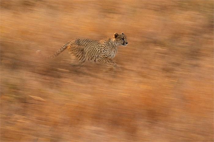 Báo đốm tung người săn mồi ở Công viên Quốc gia Kruger