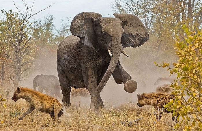 Bầy linh cẩu tấn công đàn voi để ăn thịt những con voi chưa trưởng thành
