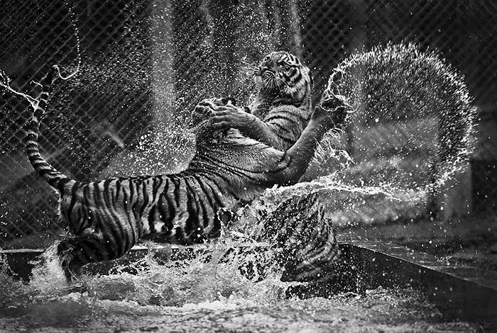 Trận thư hùng giữa 2 chú hổ lớn trong vườn thú Bangkok, Thái Lan