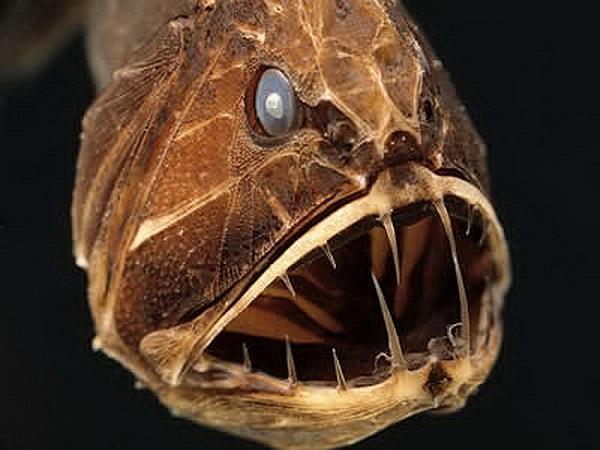 Cá răng nanh: Xuất hiện chủ yếu ở độ sâu xấp xỉ 5 km nơi mà thức ăn vô cùng khan hiếm, bởi vậy loài cá này sẽ ăn tất cả những gì mà chúng gặp phải. Hàm răng sắc nhọn giúp cá răng nanh có thể cắn xé mọi con mồi.