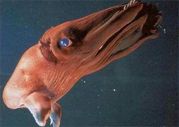 Mực ma cà rồng: Đây là động vật thân mềm duy nhất có thể tồn tại ở độ sâu 700m. Loài này có thể tự thay đổi màu sắc và dùng tua để tránh kẻ thù.