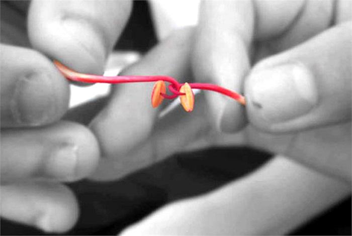 Nhụy hoa phượng làm móc câu để chọi nhau