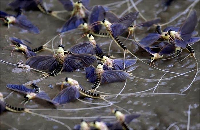 Những con phù du đuôi dài này có tên khoa học là Palingenia longicauda. Vào mùa này chúng thi nhau ngoi lên mặt sông để tìm bạn tình trước khi chết.