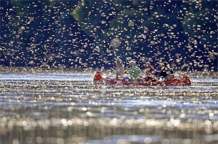 Nhờ sự sinh sôi nẩy nở của loài phù du đuôi dài này mà sông Tisza đã trở thành một điểm thăm quan tuyệt vời và thú vị với các du khách trên thê giới.