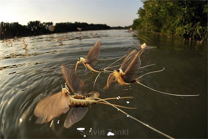 Trên con sông dài hơn 135km, từng đôi phù du thực hiện quá trình kết đôi vội vàng vì một con  cái thường phục vụ tới 20 'chàng' phù du đực.