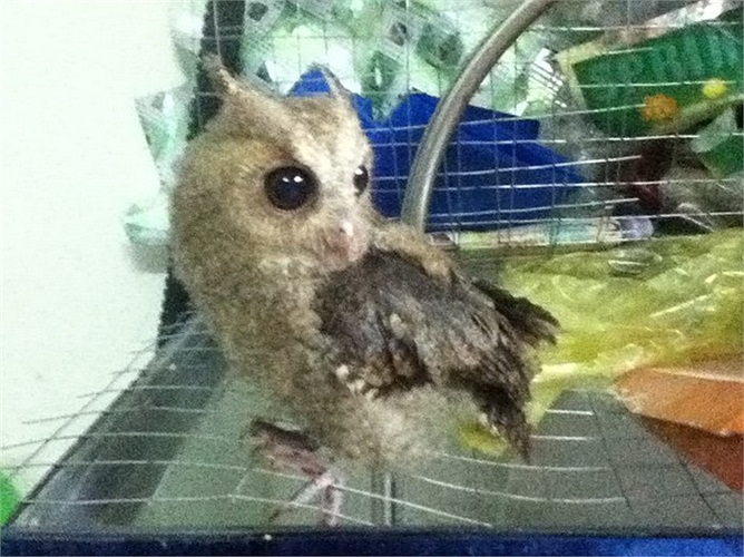 Là loài chim săn mồi, nhiều người thả rông chúng trong nhà vào buổi đêm để bắt chuột