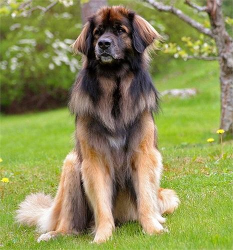 Leonberger là giống chó thuộc nhóm 'tứ đại quốc khuyển' của Đức, gồm Berger, Leonberger, Rottweiler và Doberman.