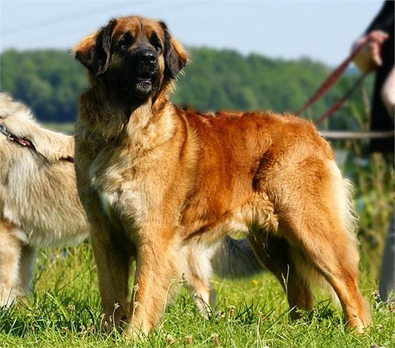 Tên gọi Leonberger có thể hiểu nôm na là sự kết hợp giữa 'sư tử' (leon trong tiếng Đức) với chó béc-giê (berger) - giống chó đầu bảng của Đức.