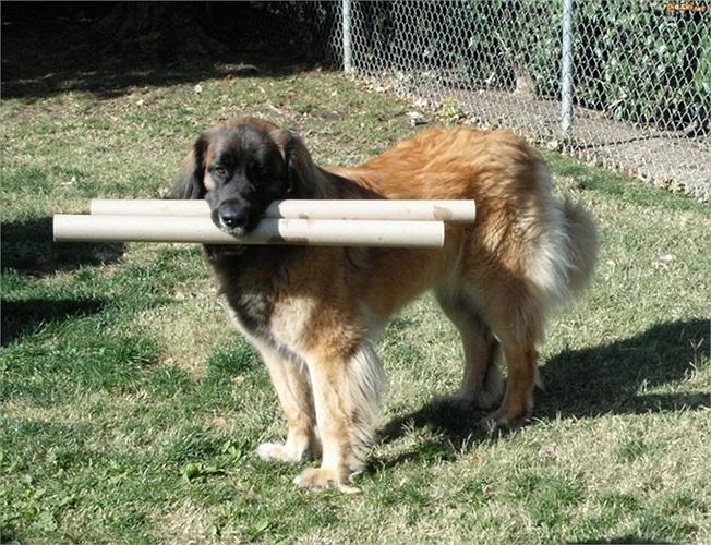 Leonberger cũng được xếp vào nhóm chó có chỉ số thông minh cao và rất trung thành, sẵn sàng bảo vệ chủ đến cùng trong tình huống khẩn cấp.