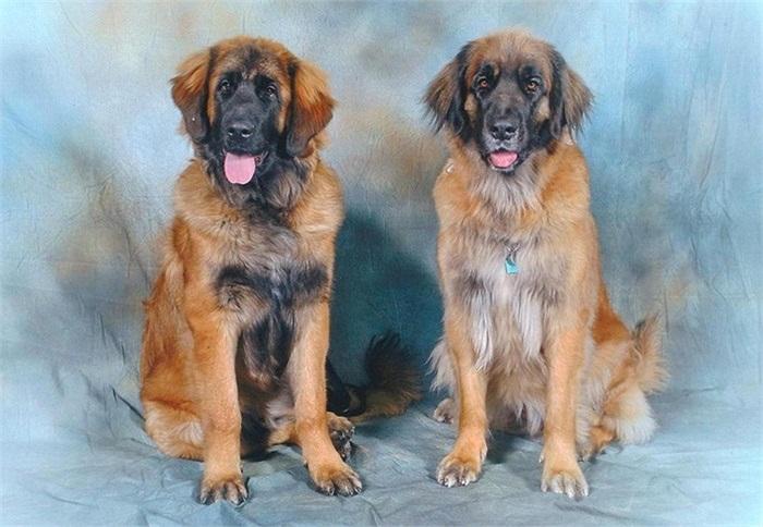 Giá của mỗi chú chó này có thể lên đến trên 10.000 USD