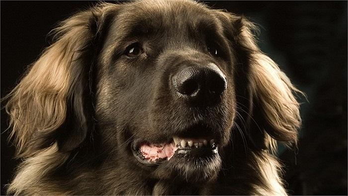 Theo những người nuôi chó, Leonberger có thể thích nghi tốt với điều kiện khí hậu Việt Nam vì chúng có thể trạng khỏe, sống được trong nhiệt độ lên tới 35 độ C