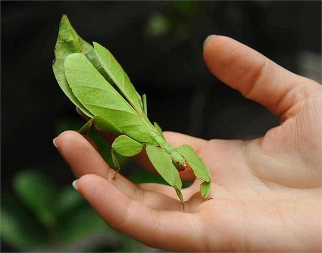 Trong vương quốc loài vật, những chiếc lá biết đi là một trong những loài có khả năng ngụy trang siêu đẳng. Chúng xuất hiện từ Nam Á, xuyên Đông Nam Á, tới Australia.