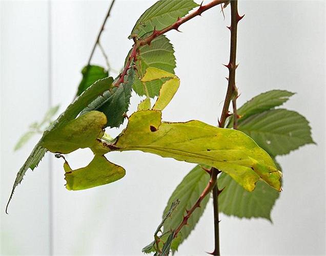Chúng giả dạng giống lá cây thật tới mức kẻ thù khó lòng phát hiện ra. Ở một số loài côn trùng này, đường viền cơ thể thậm chí còn có vết gặm nhấm như lá thật.