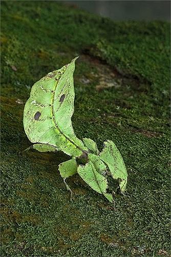 Để kẻ thù thêm hoang mang, khi di chuyển, loài côn trùng lá này đi theo hướng tiến lên lùi xuống và ngược lại như thể một chiếc lá thật đang đung đưa trong gió.