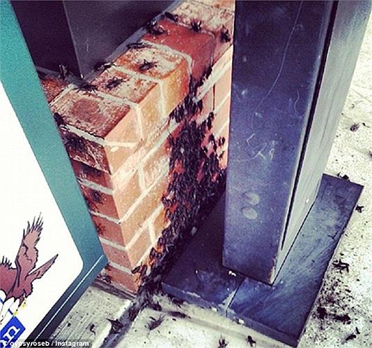Người dân được khuyến cáo dùng thuốc diệt sâu bọ để ngăn chặn lũ dế tấn công vào trong nhà