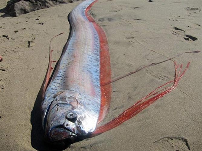 Đó chính là cá mái chèo (oarfish) thuộc họ cá Regalecidae, được ghi nhận là loài cá dài nhất thế giới còn tồn tại