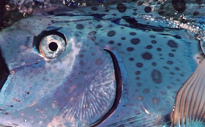 Dù vậy, ở Việt Nam cá mái chèo là một loài cá quý hiếm và rất hiếm khi xuất hiện. Nó thường bị nhầm với cá hố rồng, một loài cá có nhiều điểm tương đồng về hình thái, nhưng dài không quá 1m và thuộc một họ cá hoàn toàn khác.