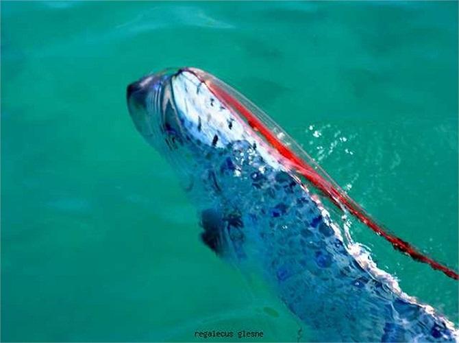 Chúng cũng là một trong những loài cá bí ẩn nhất đại dương, thường sống dưới độ sâu 1.000, nhưng cũng không hiếm khi ngoi lên mặt nước để kiếm ăn.