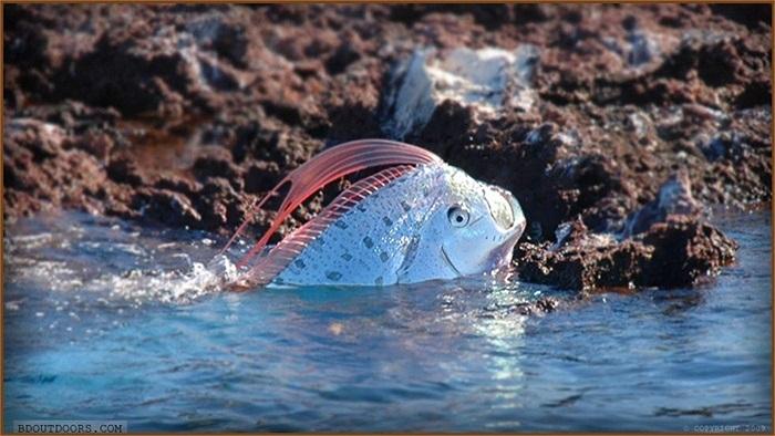 Tuy 'to xác' nhưng cá mái chèo chỉ ăn các loài động vật phù du trôi nổi, giáp xác, các loài cá nhỏ...