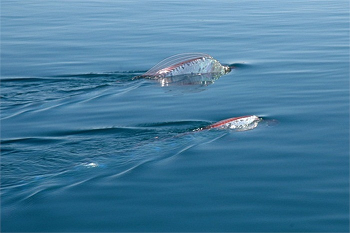 Phạm vi phân bố của cá mái chèo tương đối rộng. Chúng được phát hiện tại nhiều nơi trên thế giới.