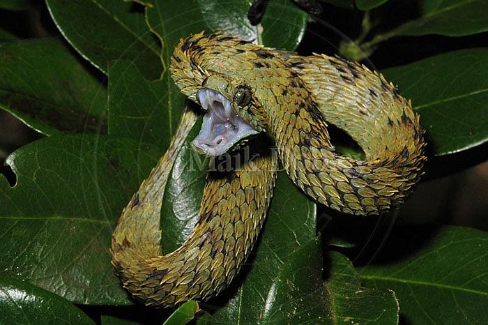 Loài rắn kỳ lạ Bush Viper được tìm thấy tại khu bảo tồn Takamanda, Cộng hòa Cameroon.