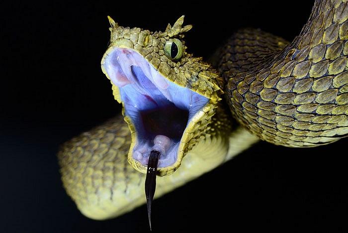 Hình thức bên ngoài của loài rắn này thực sự kinh dị.
