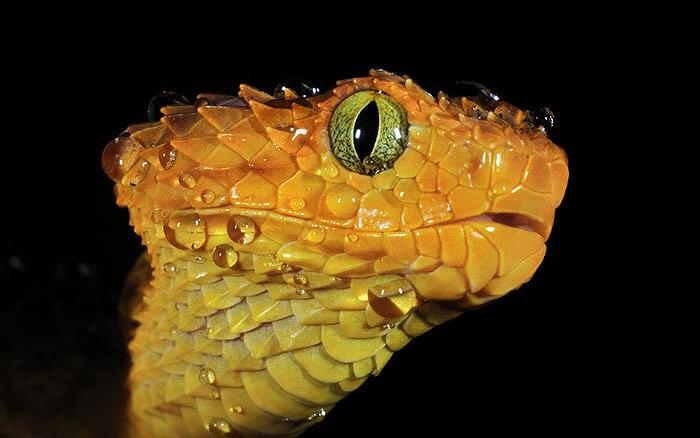 Gần như chưa có tài liệu nào của các nhà khoa học nghiên cứu về loài rắn này.