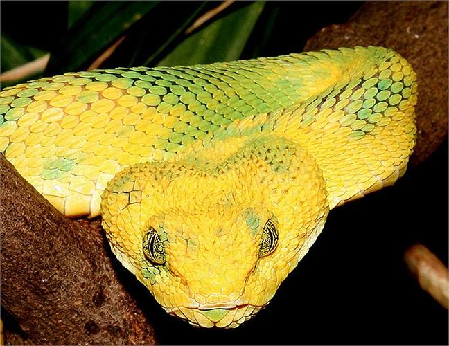 Trong một số nghiên cứu sơ lược, thì có thể loài rắn này còn tồn tại từ thời cổ đại, cách nay cả chục triệu năm.
