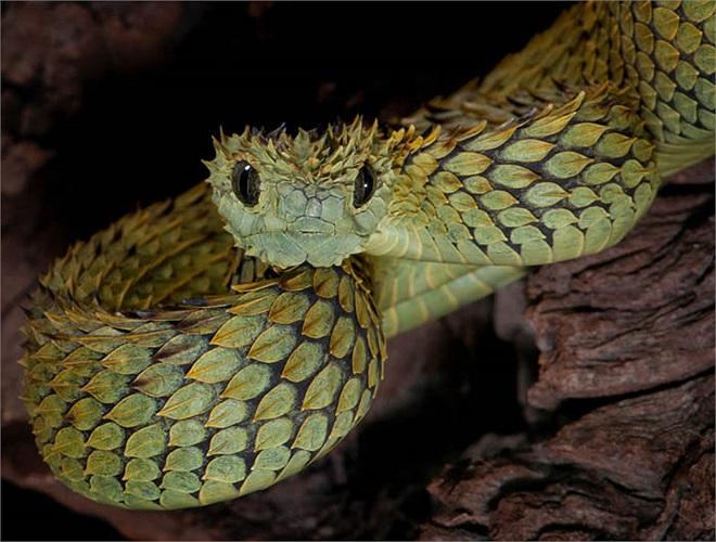 Loài rắn này sống trên cây, ẩn nấp trong các tán lá, ở những vùng ẩm ướt.