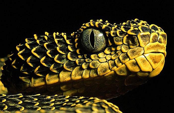 Không chỉ sở hữu lớp vảy kỳ lạ, loài rắn này còn có khả năng thay đổi màu sắc cơ thể để hòa lẫn với môi trường xung quanh nhằm trốn tránh kẻ thù hay đánh lừa con mồi.
