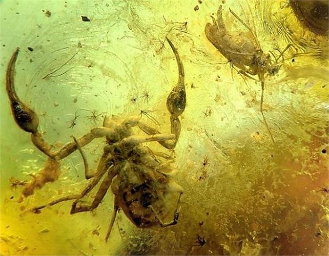 Đây là một loài côn trùng cổ đại đã tuyệt chủng từ lâu, và chỉ nhờ tới phép màu của hổ phách con người mới có được cơ hội để chiêm ngưỡng chúng.