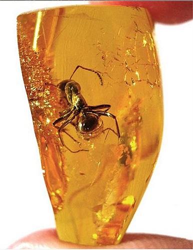 Một con kiến khổng lồ được tìm thấy trong miếng hổ phách Baltic với cơ thể hầu như con nguyên vẹn.